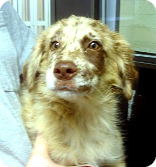 Australian Shepherd Mix Puppy for adoption in baltimore, Maryland - Paisley