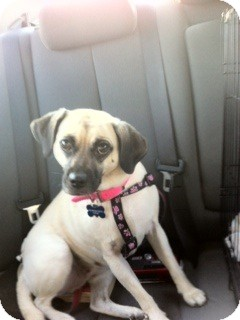 Pug/Beagle Mix Dog for adoption in Austin, Texas - Sandy