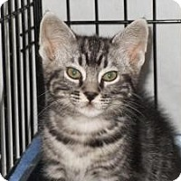 Adopt A Pet :: Jazzpurr - Milwaukee, WI