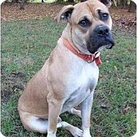 Adopt A Pet :: Dozer - Mocksville, NC