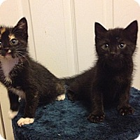 Adopt A Pet :: Zig Zag - St. Louis, MO