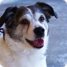Adopt A Pet :: Odie