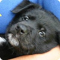Adopt A Pet :: George - Brattleboro, VT