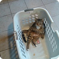 Adopt A Pet :: Mango - Libertyville, IL