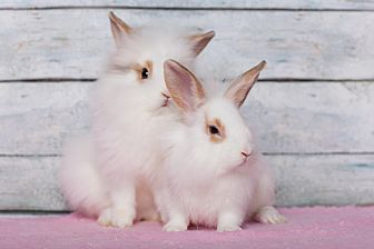 English Spot Mix for adoption in Los Angeles, California - Lionhead X Bunnies!
