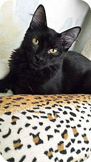 Domestic Mediumhair Kitten for adoption in Mesa, Arizona - Bentley