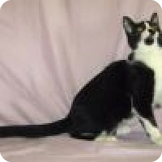 Domestic Shorthair Cat for adoption in Powell, Ohio - Oreo