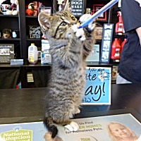 Adopt A Pet :: Petvalu Kittens & Cats! - Westampton, NJ
