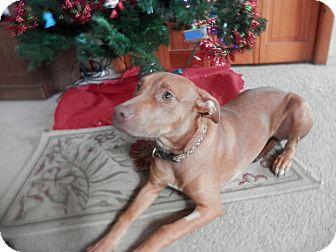 Pit Bull Terrier Mix Puppy for adoption in Huntsville, Missouri - Punkin