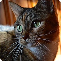 Domestic Shorthair Cat for adoption in Staten Island, New York - Brittany/Eleanor