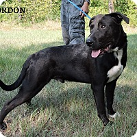 Labrador Retriever/Bulldog Mix Dog for adoption in Washington, Georgia - Gordon