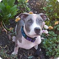 Adopt A Pet :: Abby - Framingham, MA