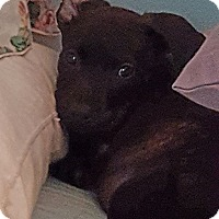 Adopt A Pet :: Josie - Greenville, NC