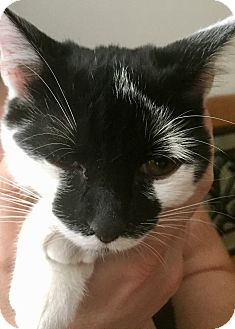 Domestic Shorthair Kitten for adoption in Floral City, Florida - Zora