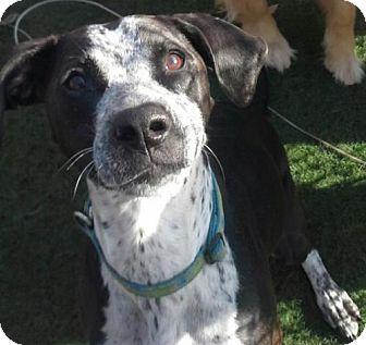 Pointer Mix Dog for adoption in Evansville, Indiana - Bella