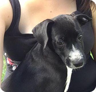 Beagle/Pointer Mix Puppy for adoption in Joliet, Illinois - Kasey