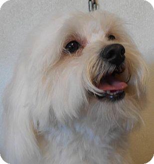 Lhasa Apso Dog for adoption in Yucaipa, California - Dexter