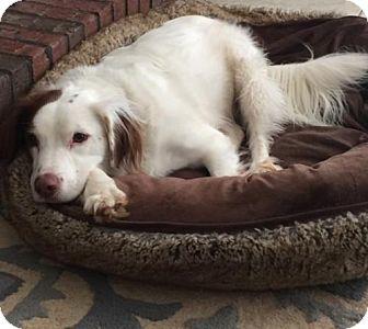English Setter Mix Dog for adoption in Atlanta, Georgia - Chip