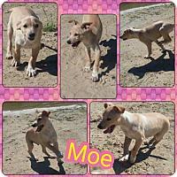 Adopt A Pet :: Moe 1 meet me 10/28 - Manchester, CT