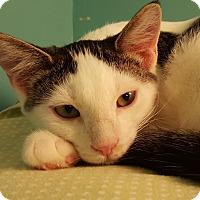 Domestic Shorthair Kitten for adoption in Grayslake, Illinois - Xabi