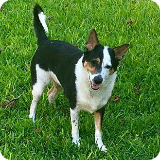 German Shepherd Dog/Blue Heeler Mix Dog for adoption in New York, New York - Rio