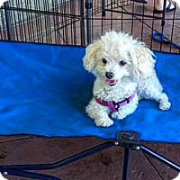 Adopt A Pet :: Mojito - Henderson, NV