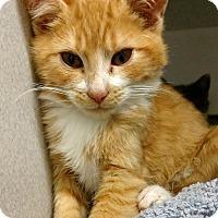 Adopt A Pet :: Landry - Shoreline, WA