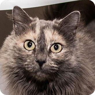 Domestic Mediumhair Cat for adoption in Prescott, Arizona - Jasmine