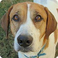 Great Pyrenees/Hound (Unknown Type) Mix Dog for adoption in Mountain View, Arkansas - Kona