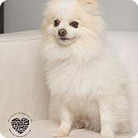 Adopt A Pet :: Ike - Inglewood, CA