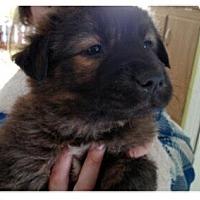 Adopt A Pet :: Adonis - Manchester, NH