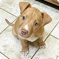 Adopt A Pet :: TATER - Waterbury, CT