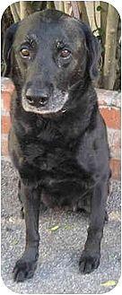 Labrador Retriever Dog for adoption in West Los Angeles, California - Zoe (& Ginger)