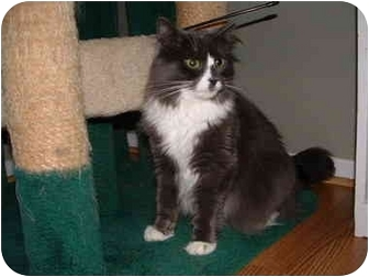 Maine Coon Cat for adoption in Howell, New Jersey - Heratio