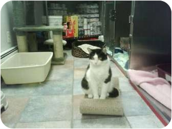 Domestic Shorthair Cat for adoption in Staten Island, New York - B.W.