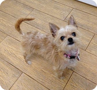 yorkie chihuahua mix for sale pet not found 6490