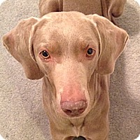 Adopt A Pet :: Sophie - St. Louis, MO