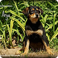 Adopt A Pet :: Arya - Southington, CT