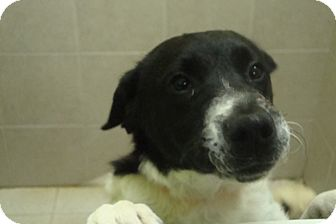 philadelphia pa   great pyrenees mix meet sissy a puppy for adoption