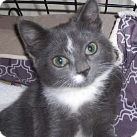 Adopt A Pet :: Mittens - Richmond, VA