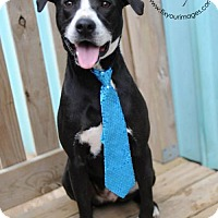 Pit Bull Terrier/Boxer Mix Dog for adoption in Kansas City, Missouri - Baxter