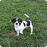Adopt A Pet :: Summer - Richmond, VA