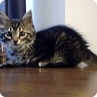 Adopt A Pet :: Broccoli - Byron Center, MI