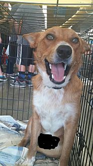 Australian Cattle Dog Mix Dog for adoption in Fresno, California - Nick