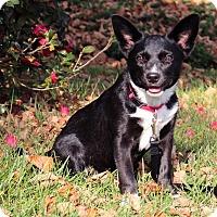 Adopt A Pet :: Olivia - Bedford, VA