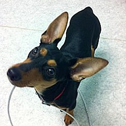 Photo 4 - Manchester Terrier Mix Dog for adoption in Garland, Texas - Kisses