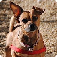 Adopt A Pet :: *Eevee* - Philadelphia, PA
