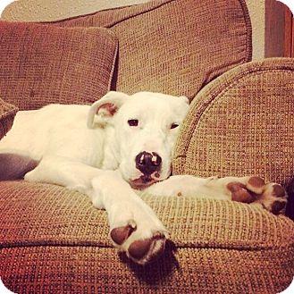 American Bulldog/Greyhound Mix Dog for adoption in oklahoma city, Oklahoma - Wynter