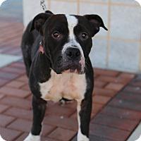 Adopt A Pet :: Maggie - Manassas, VA