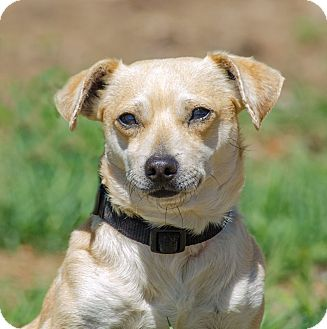 Dachshund/Chihuahua Mix Dog for adoption in Lodi, California - Casey